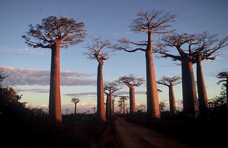Ruée de baobab